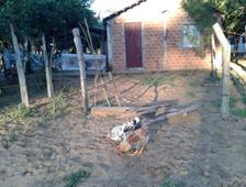 gallos ayolas